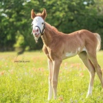 ARMANI - filly out of Zippa Bonnie (APHA) (Owned by Megan Richter)