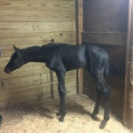 Filly out of Chipfaced (Owned by Vic & Libby Clark)