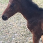 Colt #2 out of Moxies Legacy (Owned by Amy Walls)