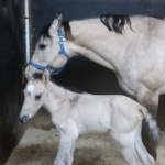 """Hatari"" - out of PD Roca FIlly (Owned by Samantha Kabela)"