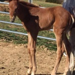 ADDY - Filly out of A Last Detail (owned by Justin Strain)