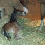 RION - Colt out of White Happened AQHA/APHA (Owned Suzanne Munns)