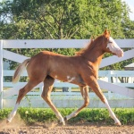 These Pockets Are Empty (Armani) - filly out of Zippa Bonnie (APHA) (Owned by Megan Richter)