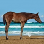 My Beautiful Iron (Florence) - out of Beautiful Maiden (owned by Seaside Farm LP)